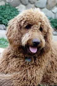 dogs with curly hair and floppy ears 18 best grooming images on pinterest labradoodles australian