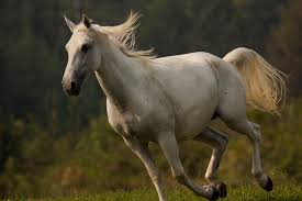 white mustang horse nature season 31 legendary white stallions press release
