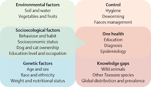 human toxocariasis the lancet infectious diseases