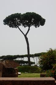 umbrella trees so italian palatine hill rome photo by