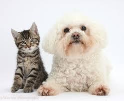 bichon frise cute pets cute tabby kitten with bichon frise photo wp36189