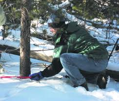 Cutting Christmas Tree - cut your own christmas tree this year permits now available