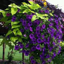Tropical Climbing Plant - flowering vines tropical flowering vines for attractive show in