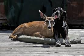 Blind Great Dane Animal Odd Couples Meet The Odd Couples Nature Pbs