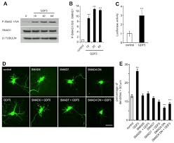 growth differentiation factor 5 is a key physiological regulator