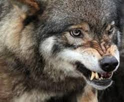 imagenes sorprendentes de lobos el lobo el perro y el hombre los sorprendentes rasgos que los