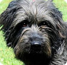 bearded collie adoption bowzer scruffy adorable pup adopted dog wakefield ri old