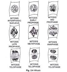 cell division in plants and their significance with diagram