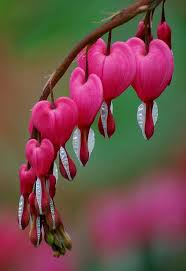 Bleeding Hearts Flowers Best 25 Bleeding Heart Flower Ideas On Pinterest Bleeding Heart