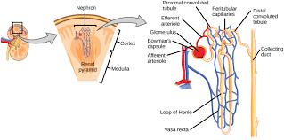 Pyramids Of The Medulla The Kidneys And Osmoregulatory Organs Biology Ii