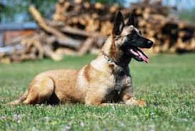 belgian shepherd breeders black belgian shepherd puppies free here