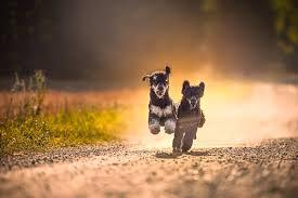 affenpinscher jakt alvenmod foto hundfoto