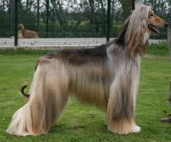 afghan hound weight dog afghan hound articles 2puppies com