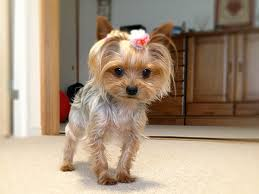 hair accessories for yorkie poos yorkies dressed up pictures cute momo 25 marvelous yorkie poo