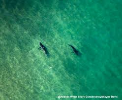 cape cod u0027s great white shark population may be growing u2014 atlantic