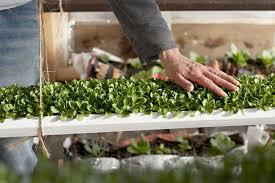 deep winter u0027 greenhouse grows veggies year round minnesota