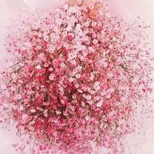 baby breath flowers pink baby breath flowers 50 pink organic flowers bas breath seeds