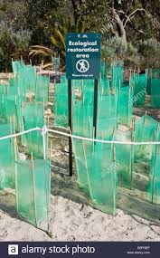 perth native plants new native plants with seedling protectors planted in an