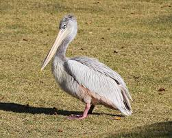 pink backed pelican wikipedia
