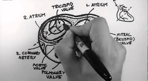Anatomy Of Heart Valve Anatomy Of The Heart Valves Youtube