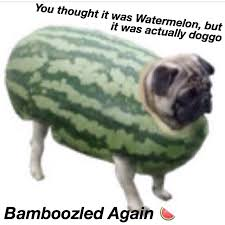 Watermelon Meme - bamboozled dog meme costume wearing dogs page 2