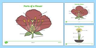 of a plant and flower labelling worksheet plant diagram