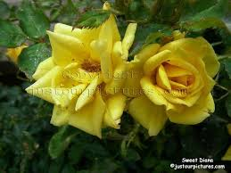 diana rose just our pictures of roses sweet diana rose picture