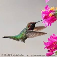 Hummingbird On A Flower - hummingbird pictures