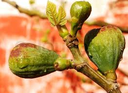 Fig Flower - the common fig ficus carica is a species of flowering plant in