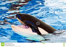 orca or killer whale head orcinus stock photo image 72001252