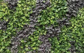 artistic green and purple vine plants arrangement for nice indoor