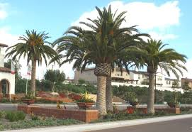 photos of palm trees by steve garufi