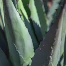 texas native plants database resources aggie plant database peerless tree farm
