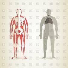 human anatomy and skeleton royalty free vector clip art image