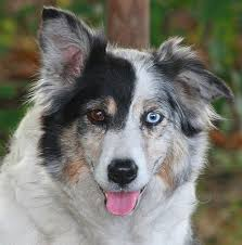 australian shepherd eye color genetics what dog breeds have blue eyes luv my dogs