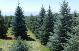 blue spruce protecting your blue spruce spruce point tree farm