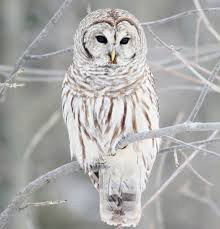 Owl Lovers by White Owl Google Search Animal Board Pinterest Owl Bird