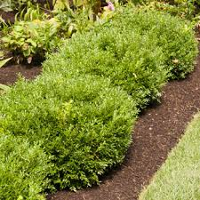 Flowering Privacy Shrubs - privacy trees fast growing trees
