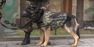 belgian shepherd diesel shootout in brussels police dog wearing camera was sent to front