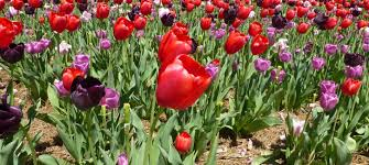 when to see biltmore u0027s 2016 spring flowers march may