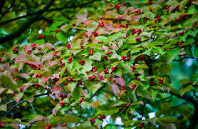10 small trees for small gardens woolly green