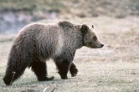 Hungry Bears Perishing On Western Montana Highways Local - grizzlybears nrdc