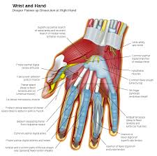 Tendon Synovial Sheath By 411 Advanced Human Anatomy Blog February 2011