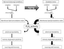 frontiers phospholipase a2 u2013 nexus of aging oxidative stress