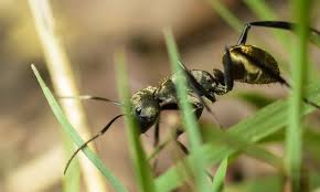 kill ants without killing grass 4 tips to get rid of ants out of