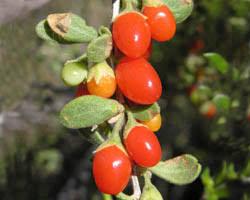 edible fruits desert flowers and fruits asu ask a biologist