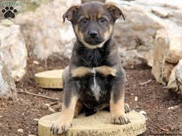 australian shepherd blue heeler mix lab blue heeler mix puppies google search animals u003c3