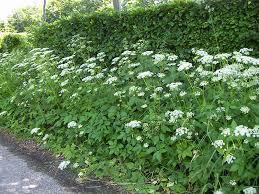 10 Best Perennials And Flowers by 10 Best Perennial Weeds Images On Pinterest Perennials Weeding