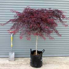 acer palmatum dissectum lace buy japanese maple trees