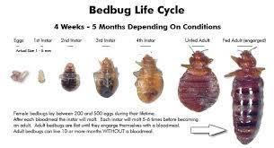 bed bug sheddings bed bugs tamyadventures